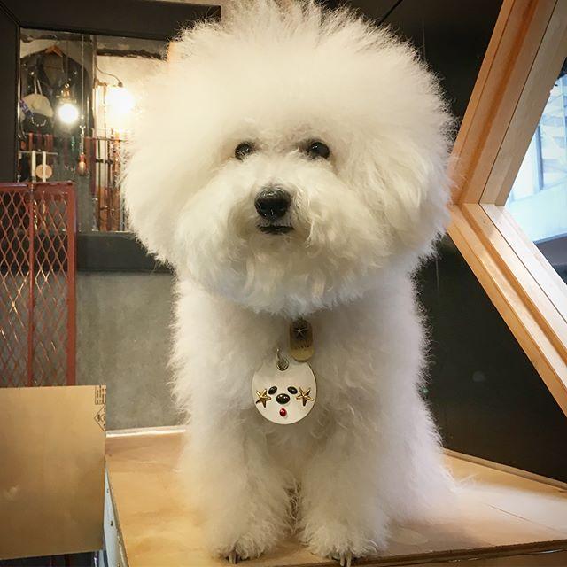 #original #leather #accessories #brass #star #afro #keyholder #necklace #studs #handmade #kagoshima #japan #shop #custom #diy #dog #dogs #dogstagram #instadog #poodle #toypoodle #maltese #bichonfrise #犬 #アクセサリー #真鍮 #キーホルダー #星 #アフロ #ビションフリーゼ ・・・・・店の空調設備・以前のお店が飲食店で、火力を使う為、業務用の大きなエアコン。・去年も壊れて、修理したのに... 今年も、一発目でエラーT^T・メーカーに点検してもらったところ、修理しても新しく設置しても、◯十万円・必要以上に大きなエアコンに、そこまで経費をかけたくない。・家庭用エアコンで十分なのに、室外機の置き場がない(店の前に置けない。壁面も構造上無理。)・じゃあ、壁をぶち抜いて加工すれば、店の前に置く様な感じで使えるんじゃないか?・別の業者さんに、この構想を聞いたところ、「大丈夫ですよ!」※メーカーの人は、反対してたけど 笑・ここまで3週間ほど、窓全開で扇風機... お客様も汗だくで、ご迷惑をおかけしましたm(_ _)m もちろん、僕も全然仕事にならなかったです。・エアコンの設置以外は、全てDIY・設置までに、自分の作業が終わらず、不完全で使用したところ、室外機のパワーに圧倒される。・その後、構想通り出来上がったら、まずまずで、これなら大丈夫かな?・3日後、30度を超える真夏日... またしても室外機のパワーに圧倒される。・店をオープンする時も、入り口と電気設備以外は、自分で作ったので、初心を思い出したりして、やり甲斐があったのに... ・効率の良い方法を選んだはずなのに...・ここで業者さんに頼めば、今までの事は、無駄な労力...・さすがに挫折しかけたけど、最後の調整で成功。なんだかんだで1ヶ月半位... 大変だったけど問題なく快適です☆・室外機も商品棚になったり、新しくエルビスの小窓になるし、店の外観も満足です☆