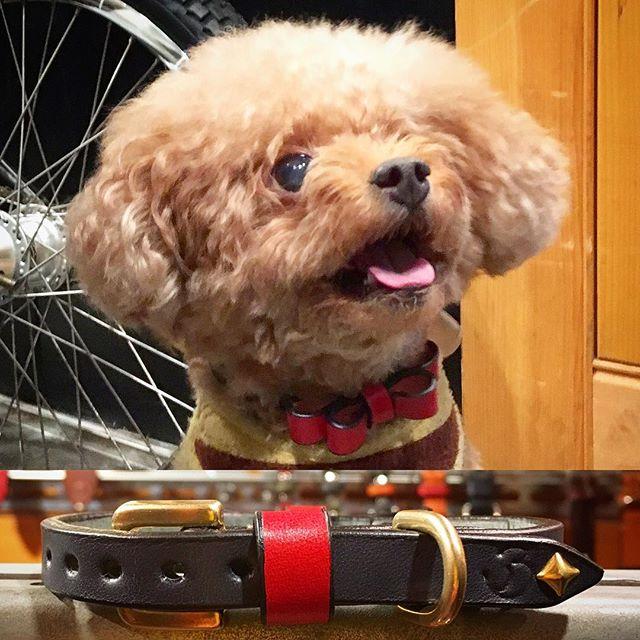 Angelina-chan.・・・☆リボン・カラー☆・#original #leather #accessories #dogcollar #ribbon #brass #studs #handmade #kagoshima #japan #dog #dogs #dogstagram #instadog #doglover #doglife #poodle #toypoodle #cutie #fashion #犬 #首輪 #リボン #プードル #トイプードル ・・・・・☆金具を真鍮(ゴールド)に変更してのオーダーでした☆・☆とても元気なアンジェリーナちゃん☆また遊びに来てね☆