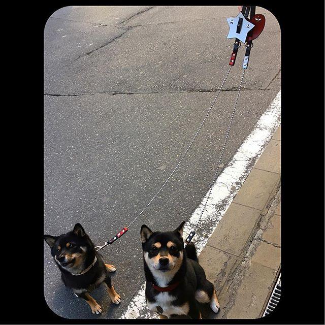 Ao-chan.・・・#original #leather #accessories #dogcollar #dogleash #star #hart #studs #handmade #kagoshim #japan #rock #dog #dogs #dogstagram #instadog #doglife #doglover #shiba #shibainu #japandog #bichonfrise #犬 #首輪 #芝犬 #小柴 #豆柴 #日本犬 #ビションフリーゼ #星・・・・・☆先日、新しいカラーをオーダーして頂いたばかりの、碧ちゃん☆・☆多頭引き用のリードもお持ちですが、レイくんとお揃いのボールチェーン・リードをオーダーして頂きました☆・☆今回も、カッコ良いオーダーありがとうございます☆