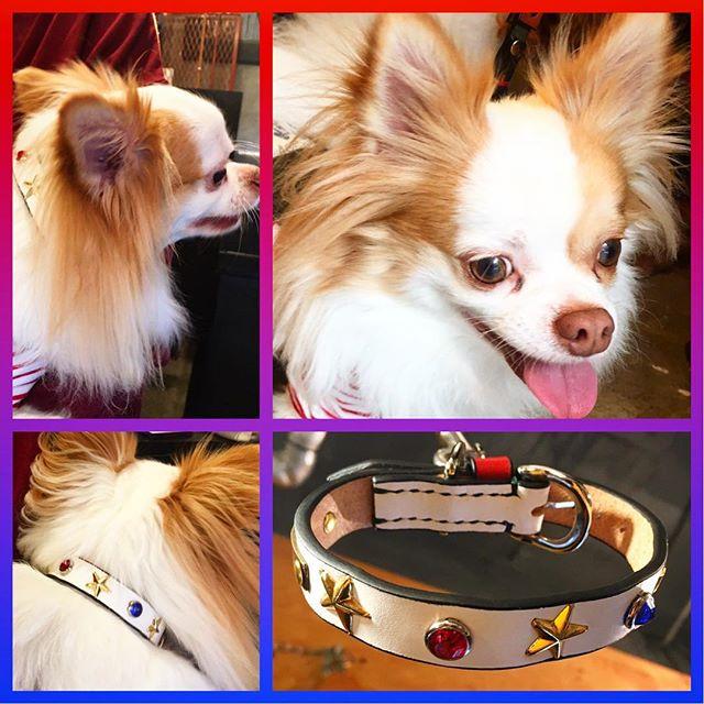 Leo-kun.・・・#original #leather #accessories #dogcollar #brass #tag #star #studs #handmade #kagoshima #japan #dog #dogs #dogstagram #instadog #dogfashion #doglover #doglife #chihuahua #chihuahualife #tricolor #犬 #チワワ #ロングコートチワワ #首輪 #真鍮 #迷子札 #星・・・・・☆18mmノーマル・カラー☆・☆BRASS TAG☆・☆STUDS CUSTOM☆