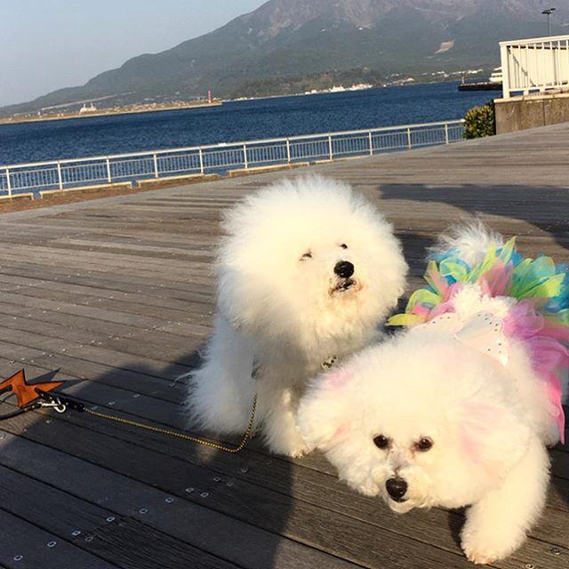 Bianca-chan.・・・☆平成最後のお友達は、ビアンカちゃん☆・☆遠い所遊びに来てくれて、ありがとう☆・・・#original#leather#accessories#dogcollar#dogleash#dogtag#handmade#kagoshima#sakurajima#dog#dogs#dogstagrm#instadog#dogsofinstagram #bichon#bichonfrise #fukuoka#poodle#maltese#犬#首輪#リード#迷子札#プードル#マルチーズ#ビションフリーゼ#福岡#ビアンカ#アフロ#エルビス