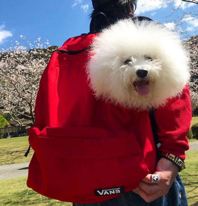 ☆愛犬とお花見☆・・・☆少し風が強かったけど、晴天&桜満開☆・・・☆昼間っから飲めるって最高ですね☆・#original#leather#accessories#dogcollar#dogleash#dogtag#bracelet #studs#handmade#kagoshima#cherryblossom #dog#dogs#dogstagram#instadog#doglover #vans#bichonfrise #poodle#maltese#犬#首輪#迷子札#バンズ#ビションフリーゼ#プードル#マルチーズ#鹿児島#桜#岩屋公園・・・☆「令和」...4/1から元号が、変わると思ってました...☆