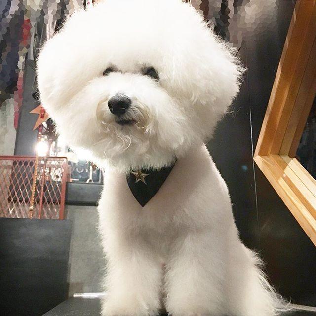 ☆Collar☆Accessorie☆・・・☆LEATHER☆BANDANA☆・・・☆お持ちの首輪に、簡単に装着出来ます。サイズも各種あるので、HPのショッピングカートを参考にしてください☆・#original#leather#accessories #dogcollar#bandana#goatskin #star#studs#handmade#kagoshima#dog#dogs#dogstagram#instadog#doglife#doglover#dogfashion#poodle#maltese#bichonfrise#犬#首輪#星#山羊革#バンダナ#プードル#マルチーズ#ビションフリーゼ・・・☆写真の最初3枚は、指が1〜2本入る通常の首輪サイズにMサイズ☆・☆あとの2枚は、ゆったり目の首輪にSサイズを試着しています☆