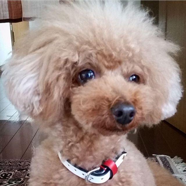Sharon-chan.・・・・・#original#leather#accessories #dogcollar#swarovski #studs#simple#handmade#kagoshima#dog#dogs#dogstagram#instadog#dogsofinstagram #poodle#toypoodle#fluffy#doglover#doglife#犬#首輪#スワロフスキー#プードル#トイプードル#福岡・・・☆ワンポイントにスワロフスキー☆・・・☆こちらのお客様も、4年ほど愛用して頂き、今回新たにオーダーして頂きました☆・☆ありがとうございます☆