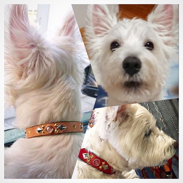 Ten-kun.・・・☆18mm Normal Collar☆ ・☆Studs Custom☆・☆お姉ちゃんの、はなちゃん(赤色)と同じデザインで、色違い(ナチュラル)のオーダーでした☆・☆ありがとうございます☆・#original #leather #accessories #dogcollar #studs #star #handmade #kagoshima #dog #dogs #dogstagram #instadog #doglife #doglover #dogsofinstagram #westhighlandwhiteterrier #westie #puppy#terrier #鹿児島#犬 #首輪 #ウエストハイランドホワイトテリア #ウェスティ#星 #スタッズ#お揃い#多頭飼い