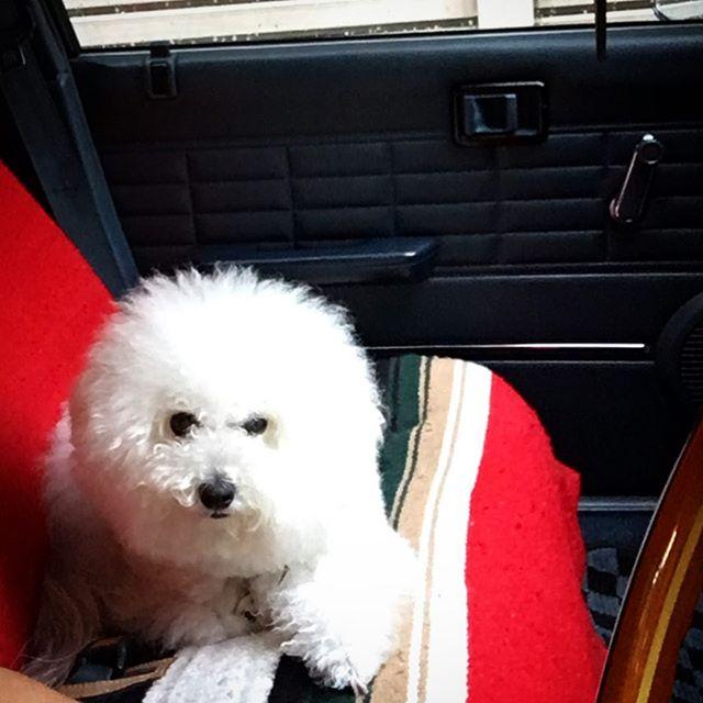 大雨・・・鹿児島は、朝からハンパない雨で...一応営業してましたが、車移動だし早目に避難してきました。・・・明日にかけて、まだまだ降るみたいなので、被害が酷くならない事を祈ります。・・・エルビスは、いつも通り元気にしてますよ️・#original #leather #accessories #dogcollar #dogleash #dogtag #bracelet #belt #handmade #kagoshima #dog #dogs #dogstagram #instadog #poodle #maltese #bichonfrise #nissan #gloria #y30 #犬 #首輪 #迷子札 #プードル #マルチーズ #ビションフリーゼ #グロバン #避難