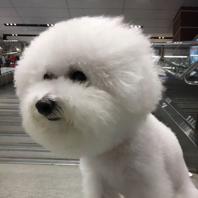 ☆Saturday☆Night☆モフモフ☆・・・☆エルビスも、久しぶりに真っ白まん丸〜です☆・・・#original #leather #accessories #dogcollar #dogleash #dogtag #spangle #studs #handmade #kagoshima #dog #dogs #dogstgram #instadog #doglife #doglover #poodle #toypoodle #maltese #bichonfrise #fluffy #leele #犬 #首輪 #迷子札 #スパンコール #プードル #トイプードル #マルチーズ #ビションフリーゼ