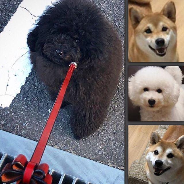 ☆・Ran-chan.・Mugi-chan.・Yukichi-kun.・Goemon-kun.・・・・・☆多頭飼いのお客様☆・☆カラー×4本と、リボンリード×2本のオーダー☆・☆わんちゃん達も愛されて幸せですね☆・・・#original #leather #accessories #dogcollar #dogleash #ribbon #studs #handmade #kagoshima #dog #dogs #dogstagram #instadog #doglover #doglife #happyday #poodle #toypoodle #bichonfrise #shiba #shibainu #犬 #首輪 #リボン #リード #プードル #トイプードル #しばいぬ #柴犬 #多頭飼い