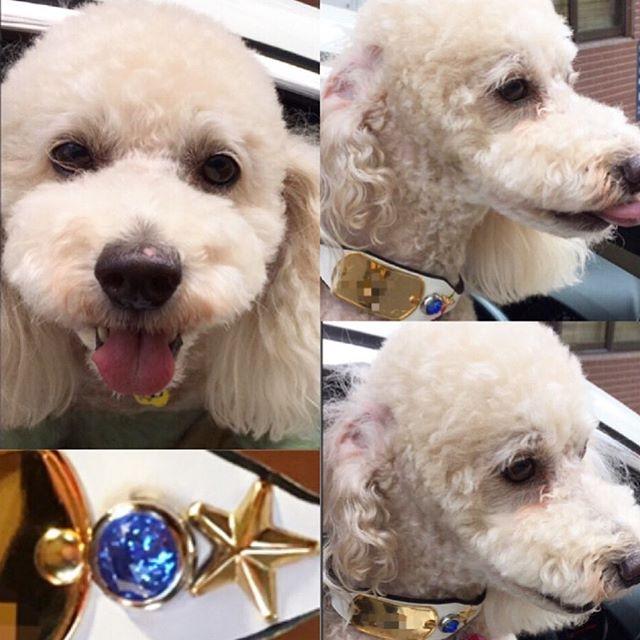 Kureo-kun.・・・☆ドッグタグ・カラー☆ ・ ・・☆White☆Gold☆Blue☆・・・#original #leather #accessories #dogtag #dogcollar #star #juwel #studs #handmade #kagoshima #dog #dogs #dogstagram #instadog #doglover #doglife #standardpoodle #poodle #toypoodle #fluffy #犬 #首輪 #迷子札 #星 #ドッグタグ #スタンダードプードル #プードル #トイプードル ・・・☆ドッグタグとスタッズのスペース以外を12mm幅仕上げ☆
