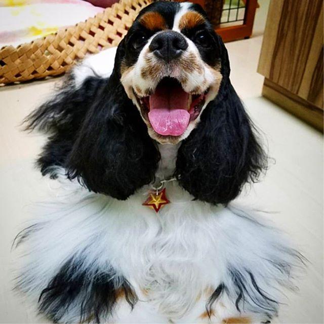 Kanoa-chan.・・・☆BASE犬MOZEの看板犬☆・☆新しいサンプルのモデルにもなってくれました☆・・・・・☆スターチャームを編み込みのレザーネックレスへカスタムし、裏には真鍮タグ(迷子札)☆・・・☆15mm幅カラー、スパンコール&スタッズ・カスタム☆・・・☆うちの店のサンプルよりボリュームUPしたWoodスタッズ☆・・・☆どれもオリジナルなので、お近くの方はぜひご覧ください☆・・・#original #leather #accessories #dogcollar #dogleash #dogtag #necklace #star #spangle #wood #studs #handmade #kagoshima #dog #dogs #dogstagram #instadog #doglife #doglover #americancockerspaniel #cocker #犬 #首輪 #星 #スパンコール #ネックレス #アメリカンコッカースパニエル #アメコカ #兵庫 #西宮