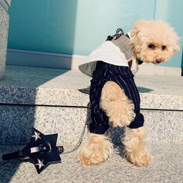 Gabriel-kun.・・・☆いつもお洒落なガブリエルくん☆・・・#original #leather #accessories #dogcollar #dogleash #dogtag #star #studs #handmade #kagoshima #dog #dogs #dogstagram #instadog #doglover #doglife #dogfashion #poodle #toypoodle #teacuppoodle #犬 #首輪 #迷子札 #星 #プードル #トイプードル #ティーカッププードル #広島