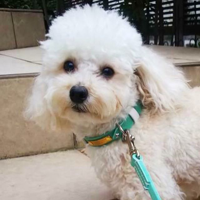 Chance-kun.・・・☆15mm幅ロックリボン・カラー☆・・・☆12mm幅ノーマルリード(130cmロングカスタム)☆・・・#original #leather #accessories #dogcollar #dogleash #dogtag #brass #rock #ribbon #star #studs #handmade #kagoshima #dog #dogs #dogstagram #instadog #doglife #doglover #poodle #toypoodle #犬 #首輪 #迷子札 #ロック #リボン #プードル #トイプードル #星 #西宮