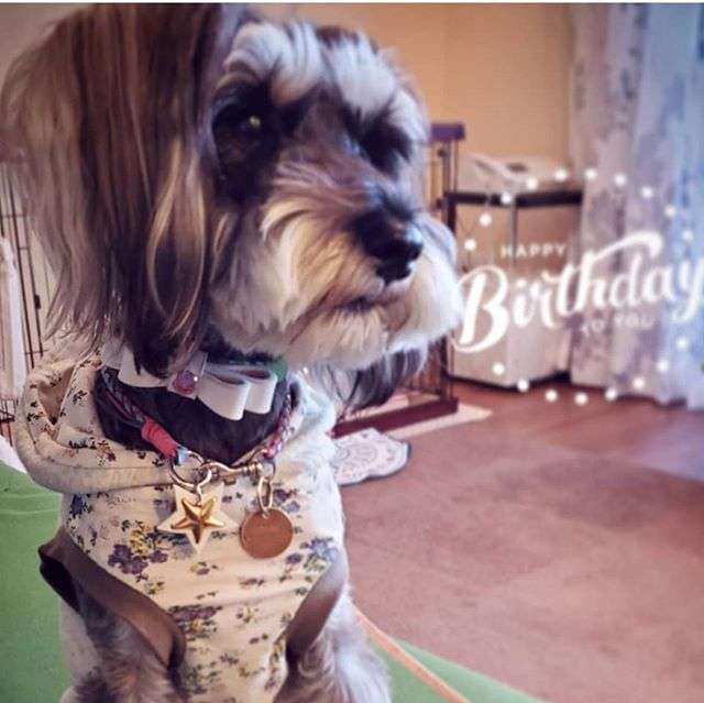 Momo-chan.・・・・・ #original #leather #accessories #dogcollar #dogleash #necklace #star #studs #handmade #kagoshima #dog #dogs #dogstagram #instadog #doglife #doglover #cutie#schnauzer #miniatureschnauzer #犬 #首輪 #ネックレス #星 #スタッズ #シュナウザー #ミニチュアシュナウザー #ミニシュナ #兵庫・・・☆お誕生日に、フルセットでオーダーして頂きました☆・☆前回オーダーして頂いた商品も、大事に使って頂いています☆・☆ありがとうございます☆
