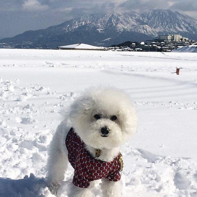 ☆数年前の大雪☆・・・☆最近寒くなってきましたね☆・・・・・☆ショップの新しいフライヤーも出来ました☆・・・#original #leather #accessories #wristeand #dogcollar #belt #dogleash #necklace #keyholder #dogtag #studs #spangle #handmade #kagoshima #rock #cutie #fashion #dog #dogs #bichonfrise #therollingstones #winter #犬 #ビションフリーゼ #首輪 #リストバンド #ベルト #リード #鹿児島 #桜島・・・☆SALEも開催中です☆・☆ストーリーをご覧ください。期間は未定です☆