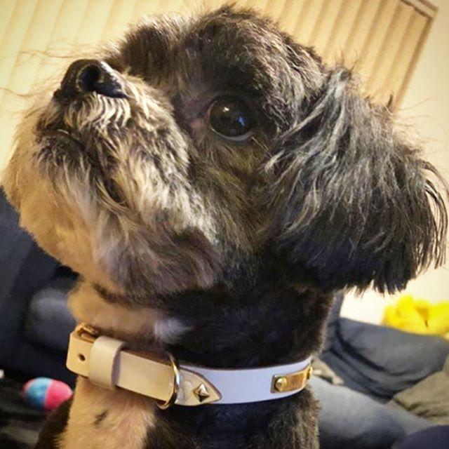 Lupin-kun.・・・・・☆STAR☆COLLAR☆・・・☆レザーを白×スタッズをシルバーで統一して、アクセントに真鍮製のタグをカスタムして頂きました☆・・・☆ありがとうございます☆・・・#original #leather #accessories #dogcollar #dogtag #wristband #brasstag #star #studs #handmade #kagoshima #dog #dogs #dogstagram #instadog #dogsofinstagram #poodle #pekingese #犬 #首輪 #リストバンド #真鍮 #星 #スタッズ #プードル #ペキニーズ #ペキプー #鹿児島