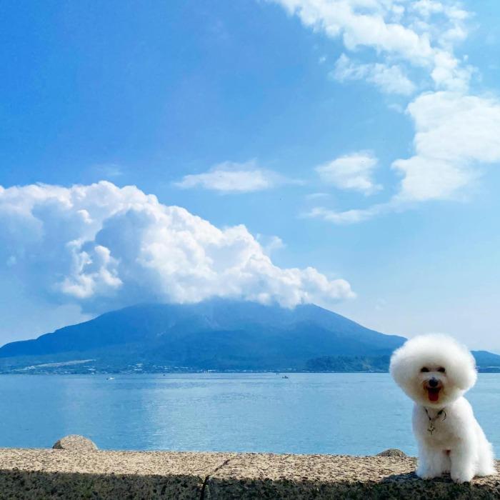 ☆先週トリミング終わりに撮りました。まだ海で泳いでる人もいましたよ☆・・・・・☆本日は雨ですね☆・・・☆今週も本日と明日の営業になります☆・・・#original #leather #accessories #dogcollar #dogleash #dogtag #necklace #studs #handmade #kagoshima #dog #dogs #dogstagram #instadog  #doglife #doglover #poodle #maltese #bichonfrise #volcano #sakurajima #犬 #プードル #マルチーズ #ビションフリーゼ #迷子札 #キーホルダー #ネックレス #鹿児島 #桜島