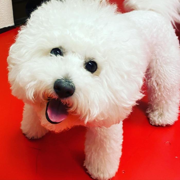 Popo-kun.・・・・・☆昨年オーダーして頂いたカラーへのスタッズカスタム☆・・・☆着けているリード&ハーネスも、6年位前でしょうか、先代のわんちゃんがオーダーしてくれた物で大事に使って頂いています☆・・・#original #leather #accessories #dogcollar #dogleash #dogtag #necklace #studs #handmade #kagoshima #dog #dogs #dogstagram #instadog #doglife #doglover #poodle #maltese #bichonfrise #犬 #首輪 #プードル #マルチーズ #ビションフリーゼ #迷子札 #キーホルダー #ネックレス #鹿児島・・・☆今週は本日と明日の営業になります☆