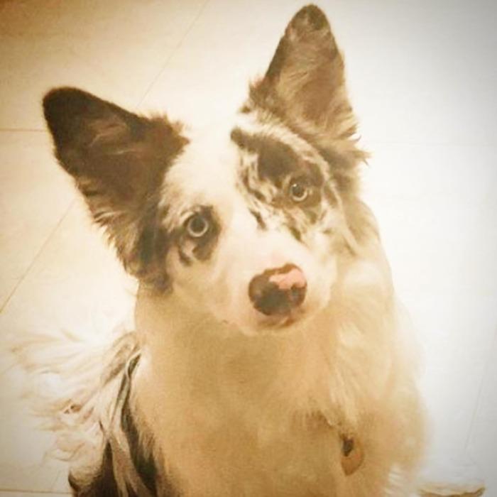Lindy-chan.・・・・・☆レザー編み込みネックレス☆・☆真鍮製の星&タグをネックレストップに☆・☆カンガルーレザー☆赤×ターコイズ☆・☆タグには名前と連絡先を刻印☆・・・・・#original #leather #accessories #dogcollar #dogtag #dogleash #necklace #keyholder #star #studs #handmade #kagoshima #dog #dogs #bordercollie #bordercollielovers #chocolatemerle #dogstagram #doglover #doglife#犬 #首輪 #迷子札 #ネックレス #星 #ボーダーコリー #チョコマール #鹿児島・・・☆今週の営業は、明日と明後日になります☆