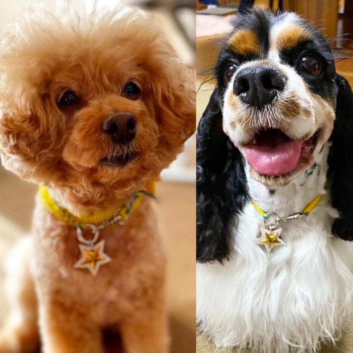 Rin-chan.・・・・・☆レザー編み込みネックレス☆・☆カノアちゃんとお揃い☆・・・☆真鍮製のタグに名前と連絡先を刻印☆・☆レザー&スタッズは、お好みの色でオーダー出来ますよ☆・・・#original #leather #accessories #dogcollar #dogleash #dogtag #necklace #star #studs #handmade #kagoshima #dog #dogs #dogstagram #instadog #dogsofinstagram #toypoodle #americancockerspaniel #cocker #鹿児島 #犬 #首輪 #星 #迷子札 #ネックレス #トイプードル #アメリカンコッカースパニエル #アメコカ #兵庫 #西宮 ・・・・・☆今週は明日と明後日の営業になります☆